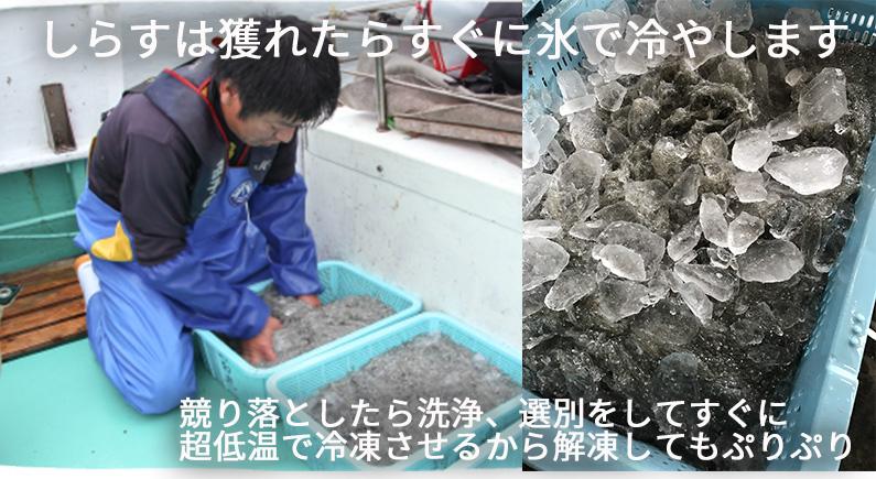 しらすは獲れたらすぐに氷で冷やす